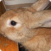 Adopt A Pet :: Cheeky - Williston, FL