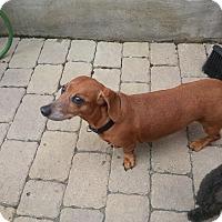 Adopt A Pet :: Nouki - Vaudreuil-Dorion, QC