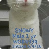 Adopt A Pet :: Snowy-NEEDS FOSTER - Herndon, VA
