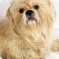 Adopt A Pet :: Mark Shih Tzu - St. Louis, MO