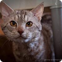 Ocicat Cat for adoption in Los Angeles, California - Rio