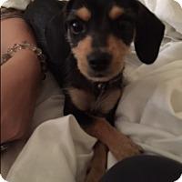 Adopt A Pet :: Chopper - Yuba City, CA