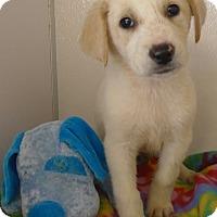 Adopt A Pet :: Comet - Manning, SC