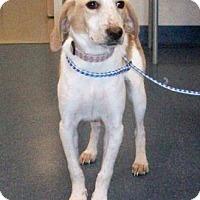 Adopt A Pet :: NUTMEG - Gloucester, VA