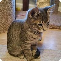 Adopt A Pet :: Tigra - Tampa, FL