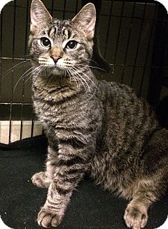 Domestic Shorthair Cat for adoption in East Brunswick, New Jersey - Berton