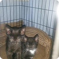 Adopt A Pet :: Sassy - Fenton, MO