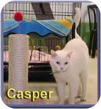 Domestic Shorthair Cat for adoption in Aldie, Virginia - Casper