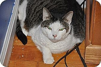 Domestic Shorthair Cat for adoption in Binghamton, New York - Fluffy