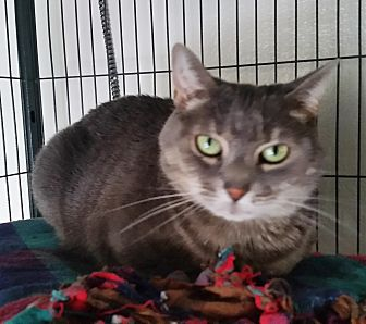 Domestic Shorthair Cat for adoption in Freeport, New York - Kitty