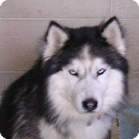Adopt A Pet :: Ice - Yucaipa, CA