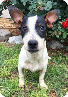 Rat Terrier Mix Dog for adoption in Fredericksburg, Texas - Derek