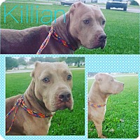Adopt A Pet :: Killian - Steger, IL