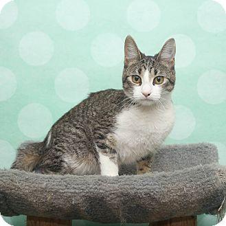 Domestic Shorthair Kitten for adoption in Chippewa Falls, Wisconsin - Menke