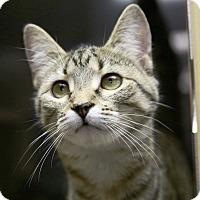 Domestic Shorthair Kitten for adoption in Kettering, Ohio - Nautica