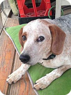 Beagle/Pointer Mix Puppy for adoption in Manchester, New Hampshire - Mighty Max