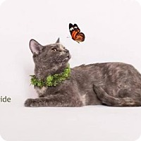 Domestic Shorthair Cat for adoption in Westlake, California - TOPAZ