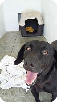 Labrador Retriever Mix Dog for adoption in Paducah, Kentucky - Lucky