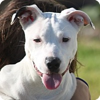 Pit Bull Terrier/Boxer Mix Dog for adoption in Cranston, Rhode Island - Loren