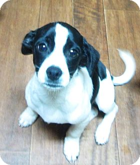 Chihuahua/Beagle Mix Puppy for adoption in Trenton, New Jersey - Todd