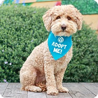 Adopt A Pet :: Charlie Poodle - Pacific Grove, CA