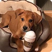 Adopt A Pet :: Bode - Richardson, TX