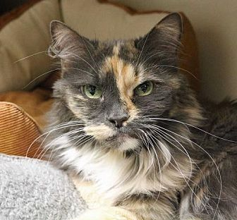Calico Cat for adoption in Spokane Valley, Washington - Autumn