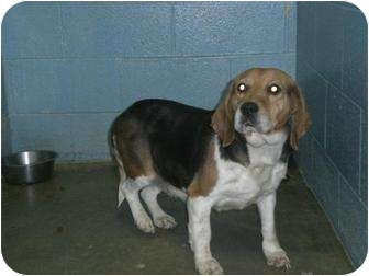 Beagle Dog for adoption in New Cumberland, West Virginia - Molly