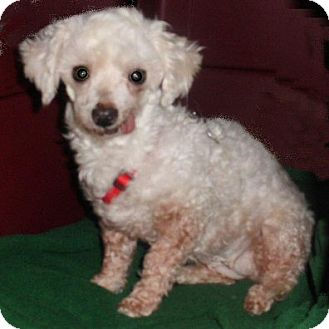 Poodle (Toy or Tea Cup) Dog for adoption in Mooy, Alabama - Caramel