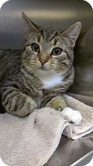 Domestic Shorthair Cat for adoption in Richboro, Pennsylvania - Doris Day