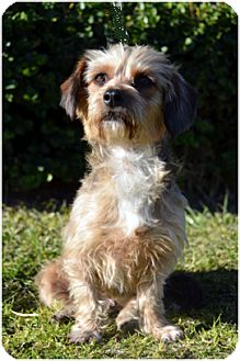 Tibetan Terrier Mix Dog for adoption in El Cajon, California - Gentle MIMI