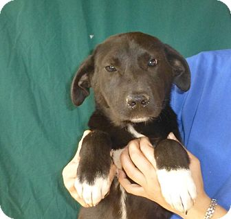 Labrador Retriever/Border Collie Mix Puppy for adoption in Oviedo, Florida - Mollie