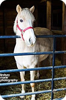Palomino for adoption in Carey, Ohio - cheyenne