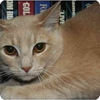 Domestic Shorthair Kitten for adoption in SILVER SPRING, Maryland - WANDA