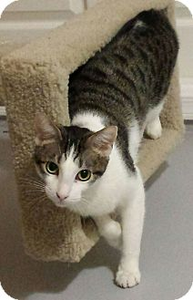 Domestic Shorthair Cat for adoption in Chandler, Arizona - Basil