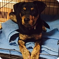 Adopt A Pet :: Daltisse - Colorado Springs, CO