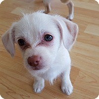 Adopt A Pet :: Bea - Puppy! - Bend, OR