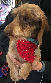 Dachshund Dog for adoption in Dallas, Texas - Cowboy