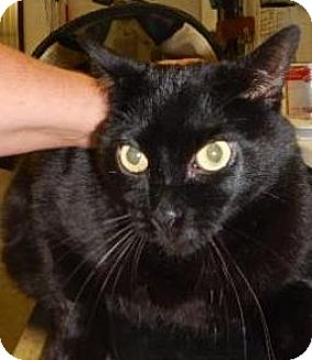 Domestic Shorthair Cat for adoption in Kalamazoo, Michigan - Zohan