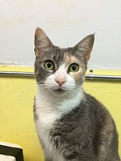 Domestic Shorthair Cat for adoption in Midway City, California - Sunshine