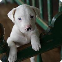 Adopt A Pet :: Bull - San Antonio, TX
