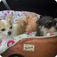 Adopt A Pet :: Adele - S. Pasedena, FL