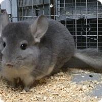 Adopt A Pet :: 5 mo violet male chinchilla - Hammond, IN