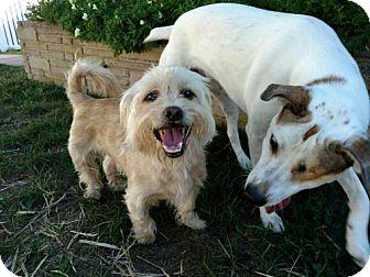 Shih Tzu Mix Dog for adoption in Gilbertsville, Pennsylvania - Tom