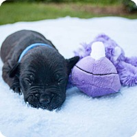 Adopt A Pet :: Harper - Rochester, NY