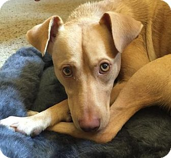 Retriever (Unknown Type) Mix Dog for adoption in Grafton, Wisconsin - Carson - PENDING