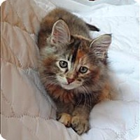 Domestic Mediumhair Kitten for adoption in Sherwood, Oregon - Aurelia