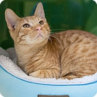 Domestic Shorthair Cat for adoption in Houston, Texas - Baez