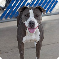 Pit Bull Terrier Mix Dog for adoption in Chula Vista, California - Lily