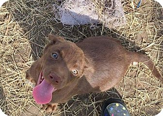 Labrador Retriever Mix Puppy for adoption in Mesa, Arizona - TALYA